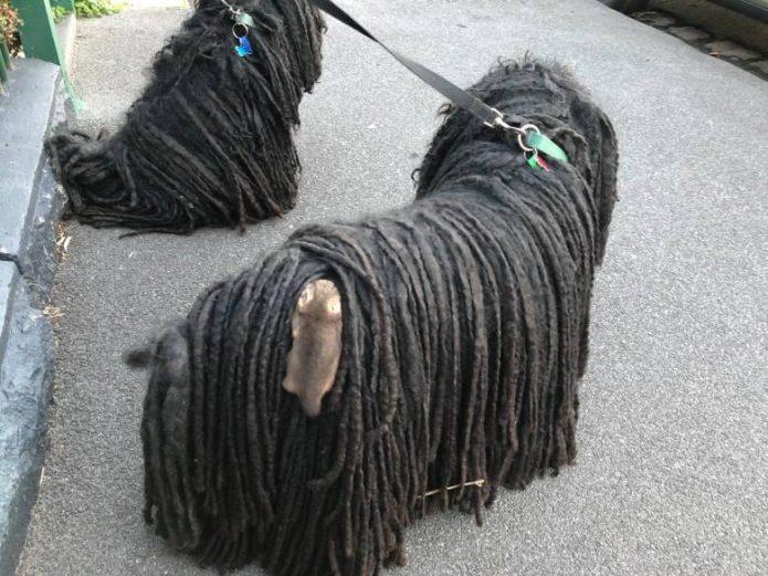 Поссум на собаке