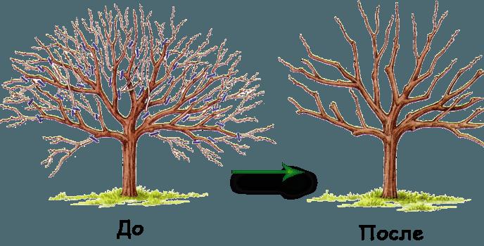 Дерево до и после осенней обрезки