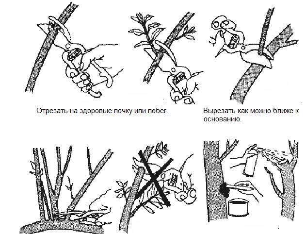 Схема обрезки лишних ветвей