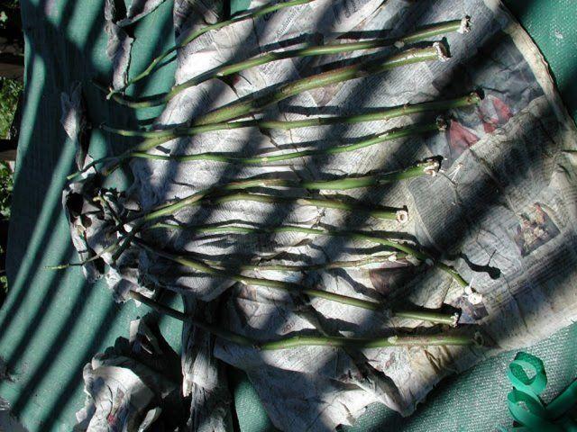 Сохранение черенков до весны