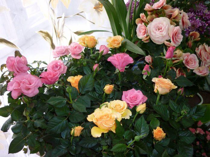 Укоренение черенков роз осенью видео