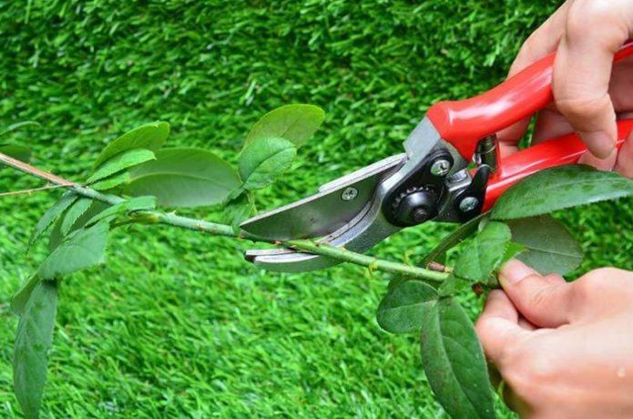 Подготовка чубуков