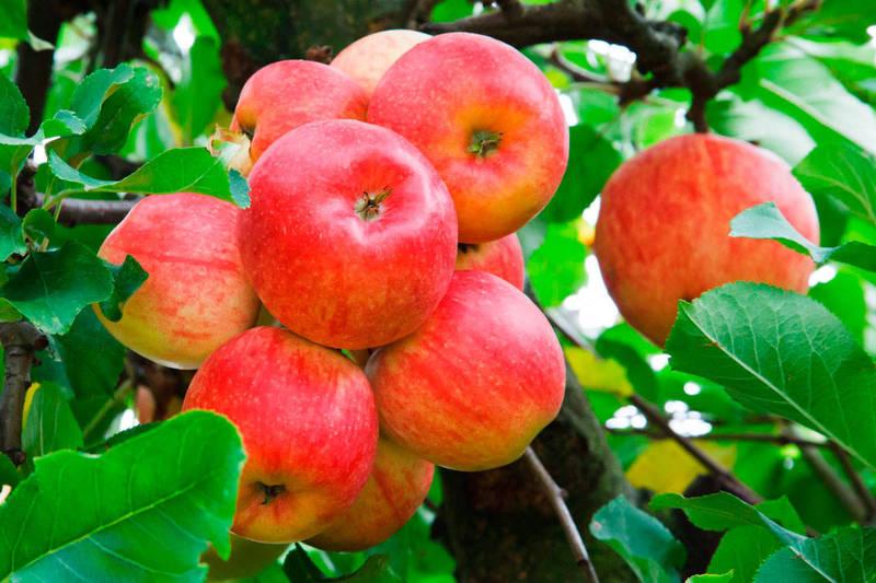 Чем подкормить яблони осенью, чтобы получить хороший урожай?