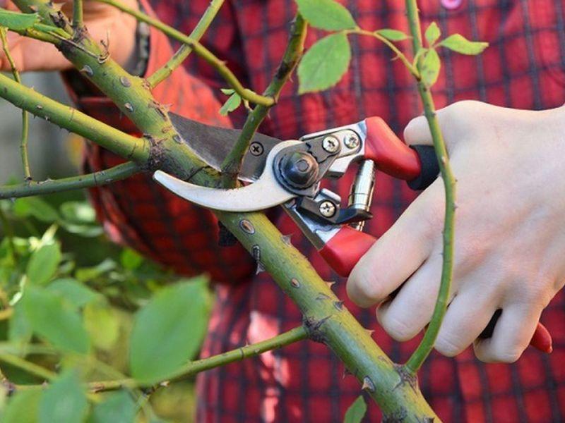 Как и для чего обрезать розы на зиму перед укрытием: особенности процедуры