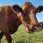 недовольная корова