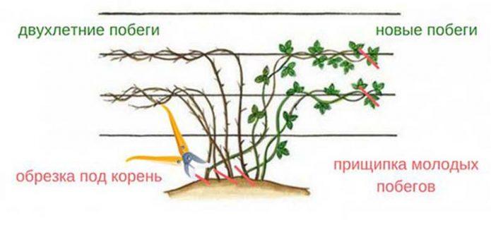 Схема правильной обрезки ежевики