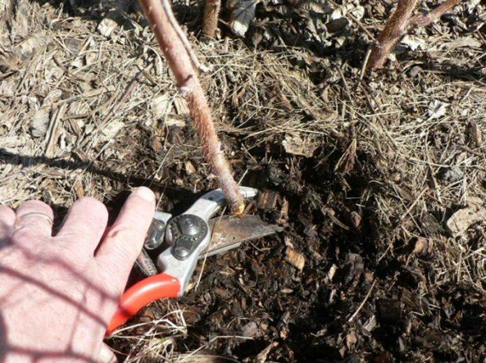 Обрезка старых ветвей под корень