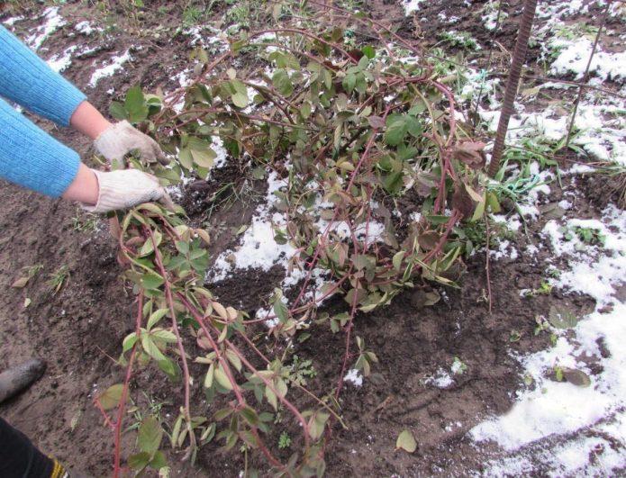 Подготовка куста ежевики к зиме