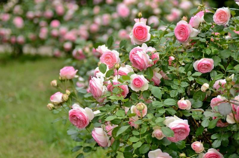 Пересадка роз осенью на другое место: особенности процесса, полезные инструкции