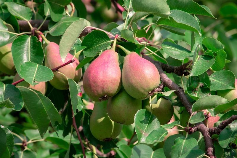 Обрезка груши осенью для хорошего урожая: советы садоводов и подробные инструкции