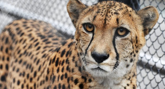 Гепард в зоопарке