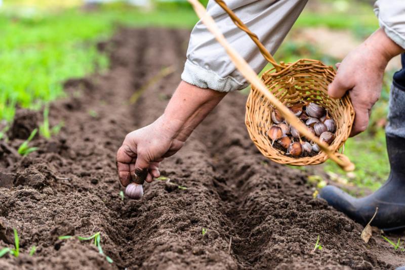 4 главных промаха при посеве чеснока под зиму