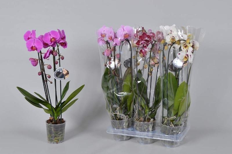 Как выбрать орхидею, чтобы она не погибла через неделю после покупки