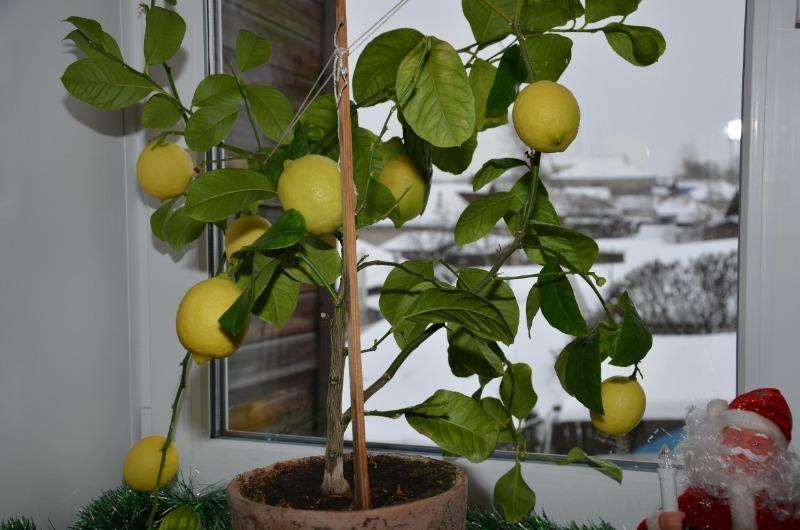 Как помочь цитрусовым на окне пережить зиму