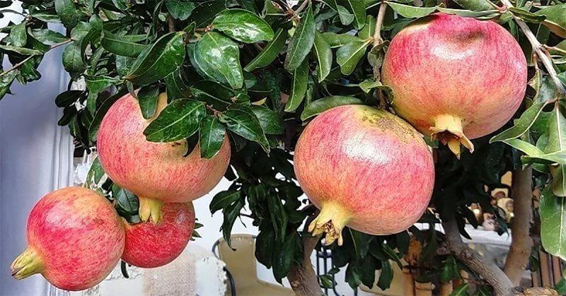Домашняя экзотика: фрукты, которые можно вырастить прямо на подоконнике
