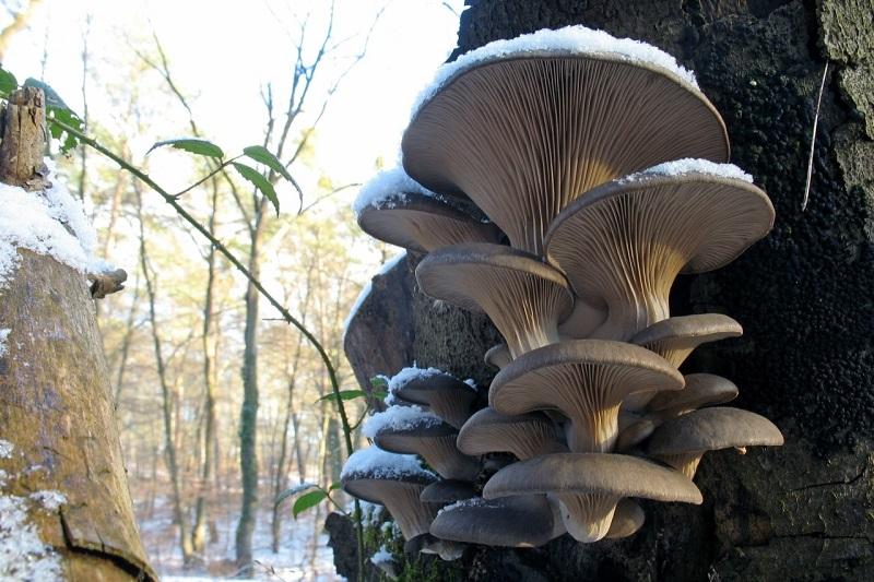 4 вида грибов, которые можно собрать в зимнем лесу