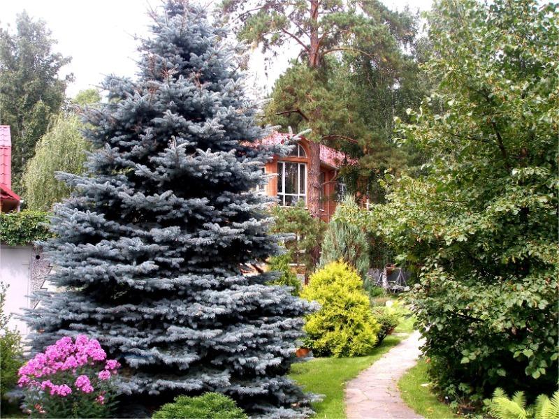 5 причин, чтобы не иметь хвойные деревья в саду