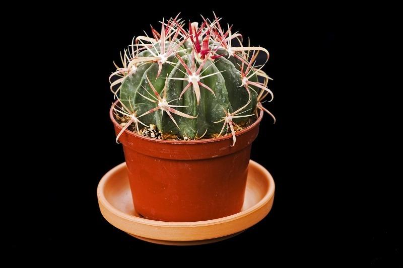 Сколько живет кактус в домашних условиях
