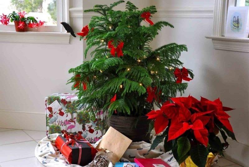 7 популярных растений в горшках, которые часто дарят на Новый год