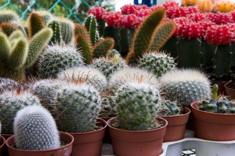 Какие кактусы не проживут долго, если сейчас их не привить