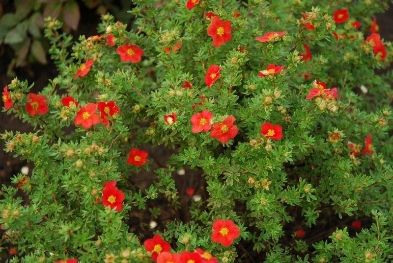 6 самых интересных кустарников для сада, которые будут цвести с лета по осень