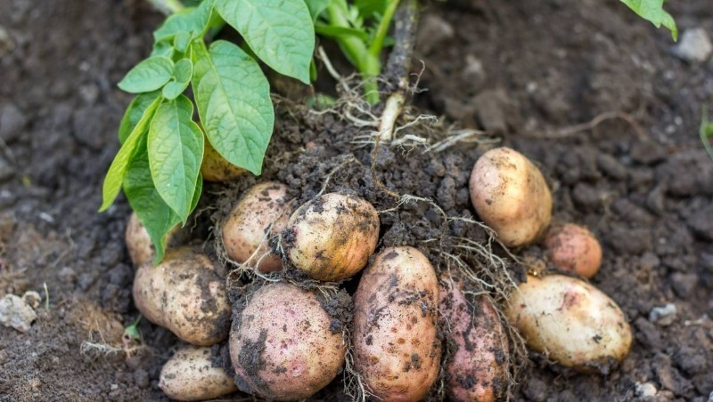6 советов, воспользовавшись которыми, вы сможете получить отличный урожай картофеля