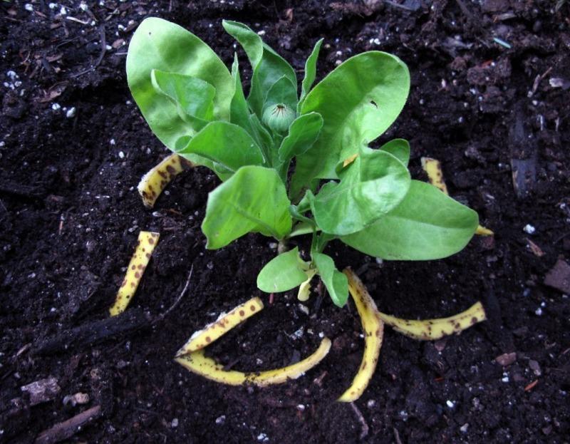 Как я использую банановую кожуру для подкормки рассады, чтобы она росла всем соседям на зависть