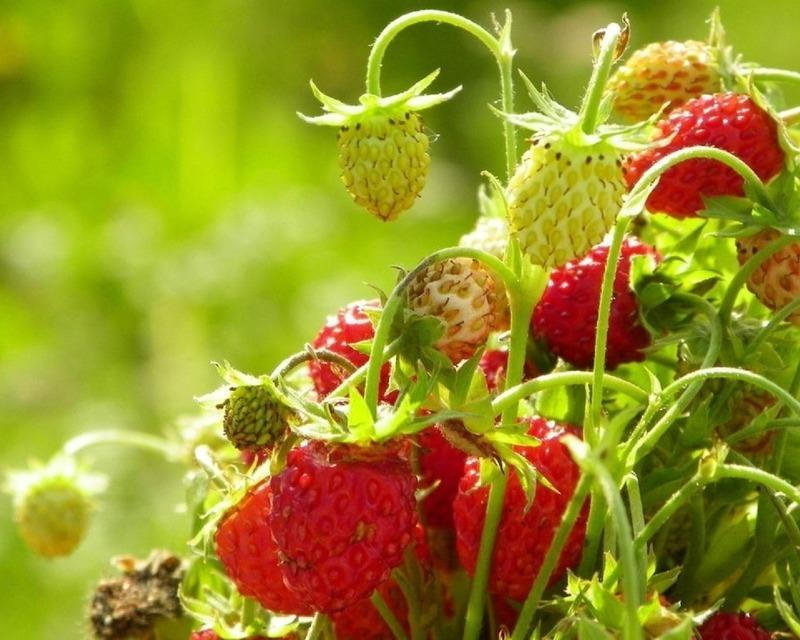 Как из замороженных ягод земляники или клубники получить новую рассаду, чтобы не тратить деньги