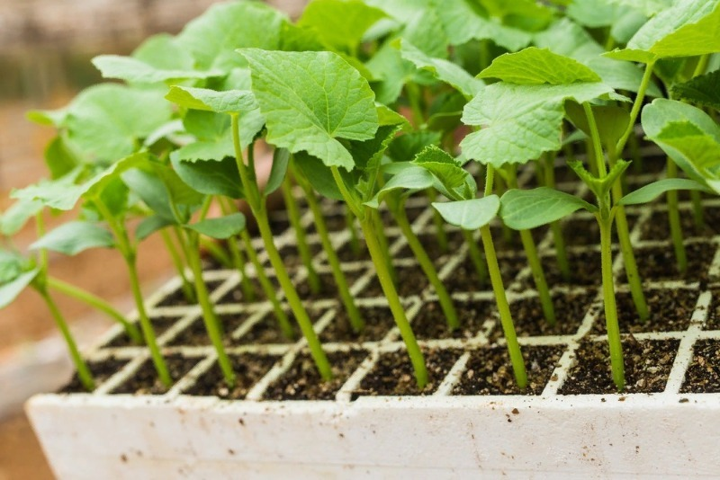Огурцы из семян: 5 хитростей для выращивания сильной рассады