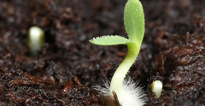 7 причин появления плесени на почве с рассадой, которые могут привести к гибели растений