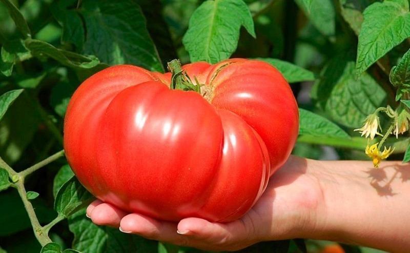 7 хитростей для выращивания вкусных и мясистых помидоров