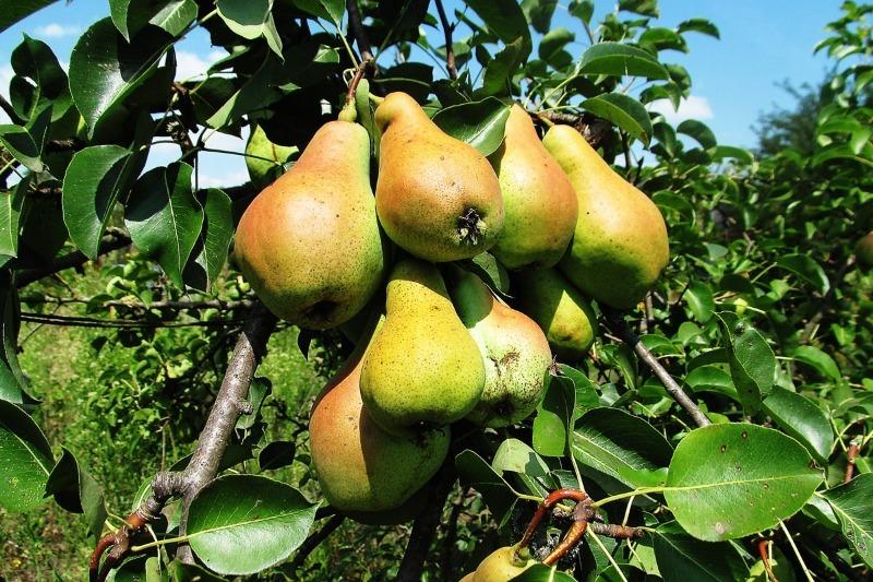 5 способов ускорить плодоношение груши