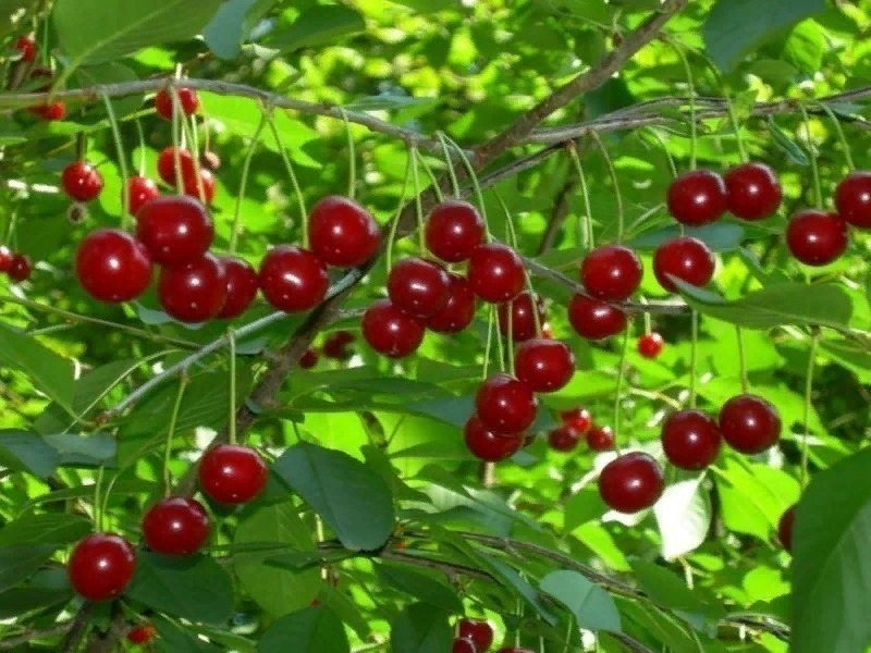 8 причин, почему вишня дает скудный урожай