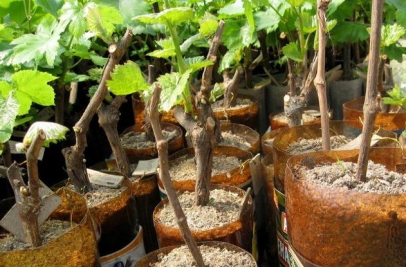 4 способа размножить виноград чубуками весной, чтобы выросли крупные ягоды
