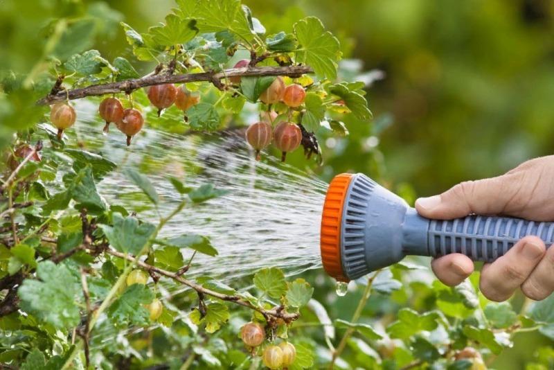 Как ухаживать за крыжовником, чтобы ягоды выросли на зависть всем соседям