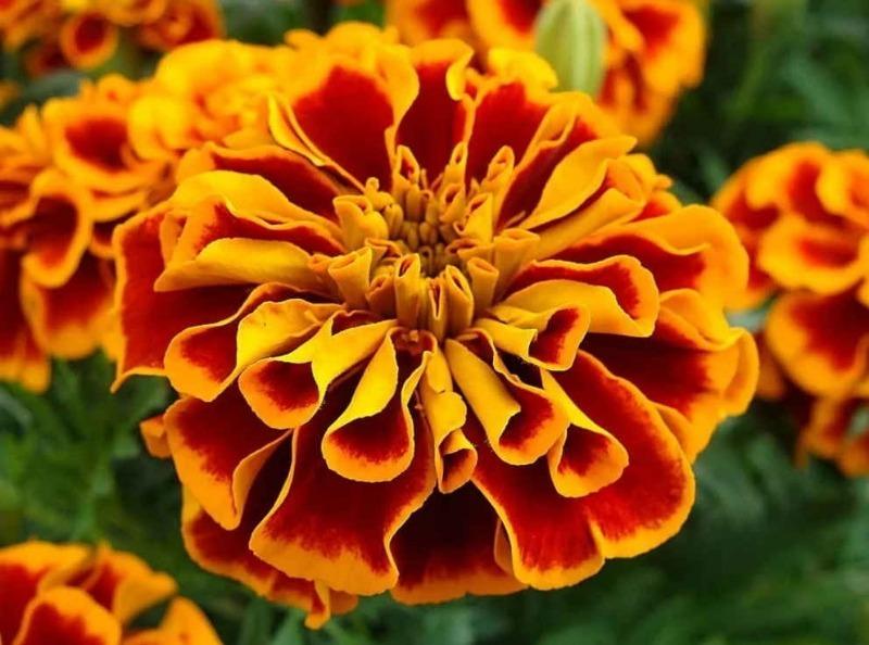 6 неожиданных применений бархатцев для защиты и удобрения других растений