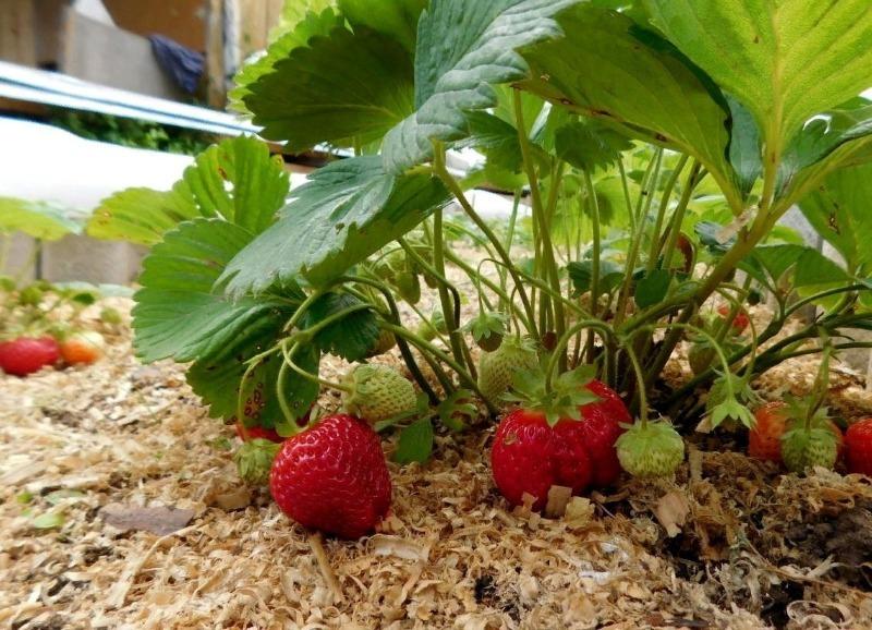 5 растений в саду и огороде, которые нужно мульчировать весной