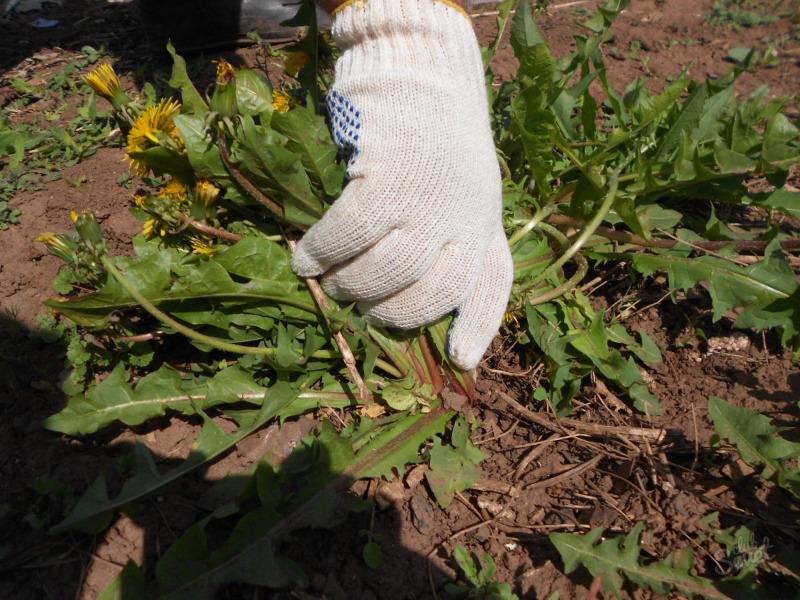 Как легко определить кислотность почвы по сорнякам