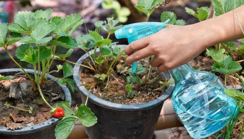 4 способа применения борной кислоты для выращивания клубники