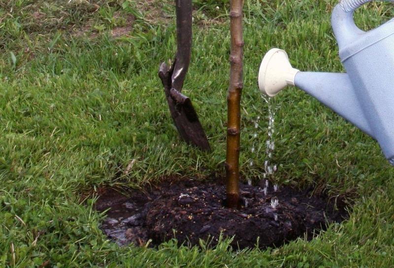 5 полезных способов применения сорняка чистотела