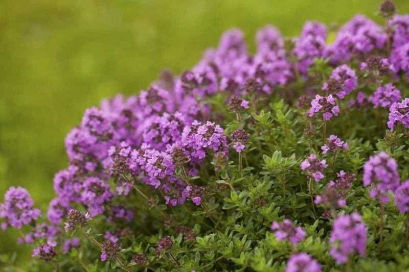 10 растений, которые отпугивают вредителей с огорода