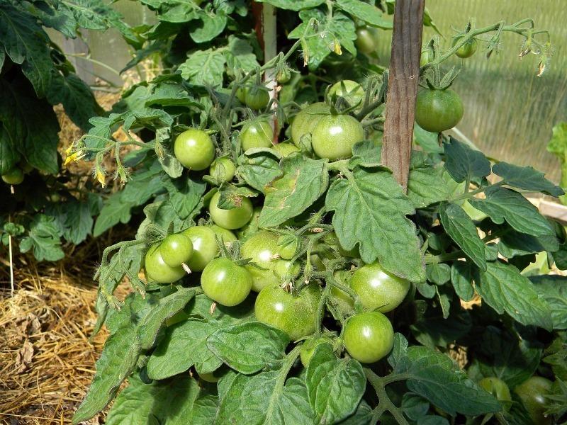 7 советов по выращиванию томатов, благодаря которым урожай увеличится в несколько раз