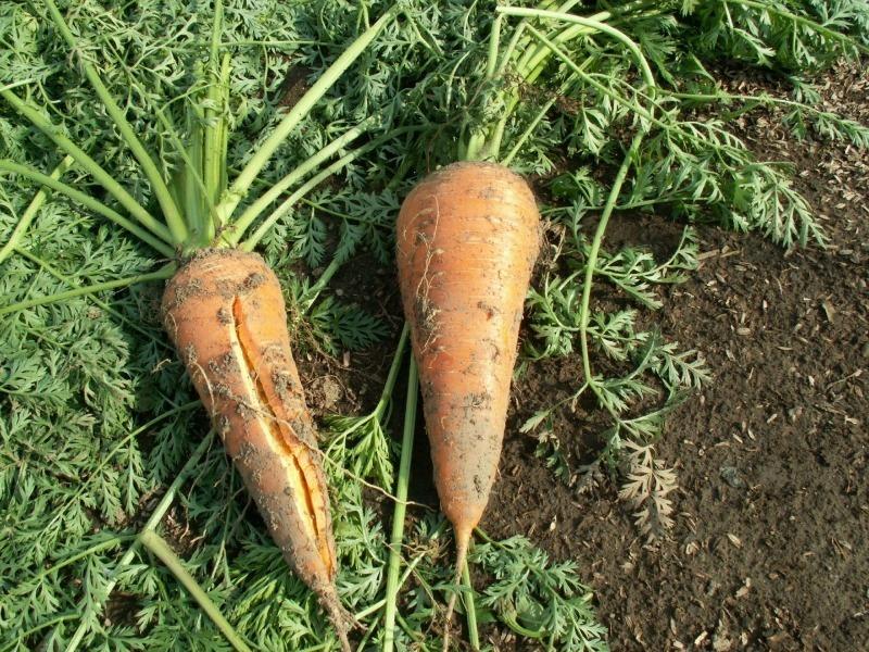 5 причин, почему трескается морковь