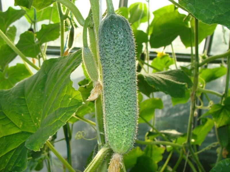 Почему огурцы не растут: 7 распространенных ошибок дачника