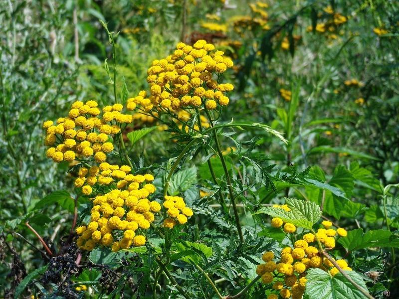 11 растений, которые можно принести из леса и посадить на своем участке