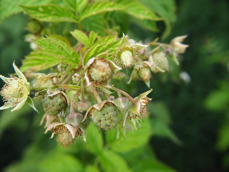 6 причин, почему не растет малина