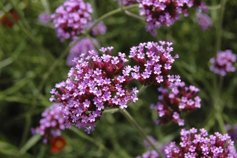 7 растений с мелкими ажурными цветками для создания воздушной клумбы