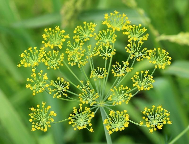 7 растений, на запах которых слетаются полезные насекомые