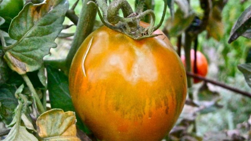 6 причин, почему помидоры на грядках потрескались