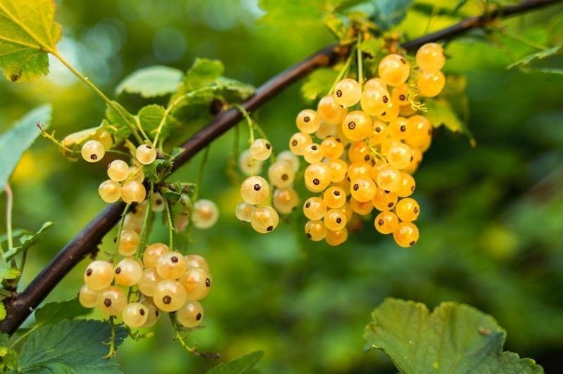 5 причин, почему на смородине созрело совсем мало ягод